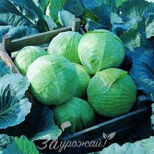 Лучшие сорта капусты для удмуртии
